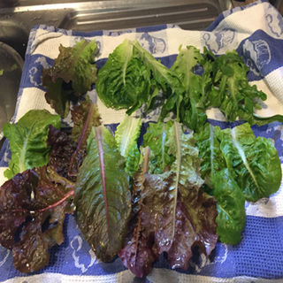 Health Reporter: Lettuce - Superfood from a Mysterious Past?