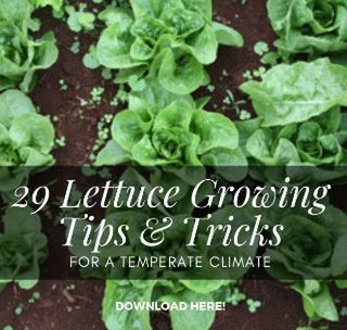 Plant Food: 29 Lettuce Growing Tips & Tricks for a Temperate Climate