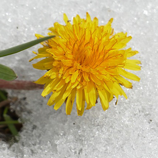 Dandelions can be Eaten