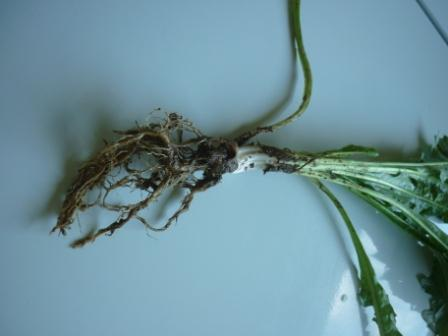 Young Dandelion Plants Roots Too Small for Harvest