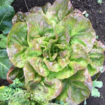 Plant Food: Beautiful Lettuces of the World